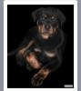 Питомниковые щенки ротвейлера