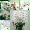 Продажа орхидей ФАЛЕНОПСИС- 300 руб.