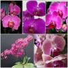 ФАЛЕНОПСИС орхидеи - 300 руб.