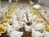 Продам цыплят табака живой вес