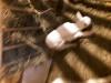 Продам читокровных козочек и козлика зааненской породы